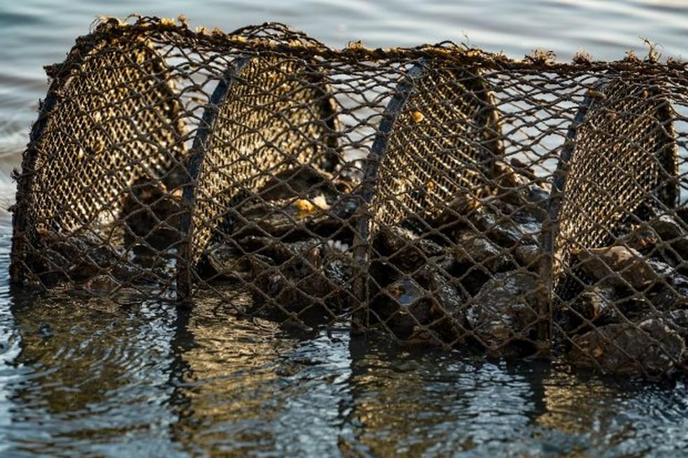 Moluscos crus, principalmente as ostras, são responsáveis por muitos casos de intoxicação alimentar — Foto: Ricardo Wolffenbüttel/Secom