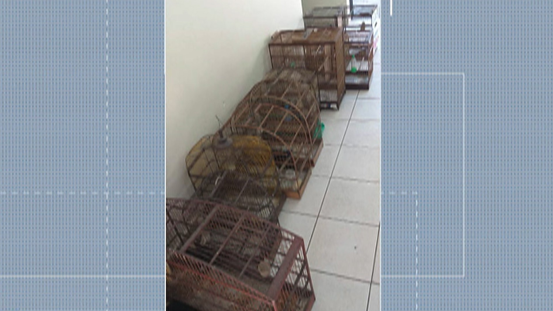 Polícia Ambiental apreende 13 aves silvestres em cativeiro e homem é multado em mais de R$ 11 mil em Suzano