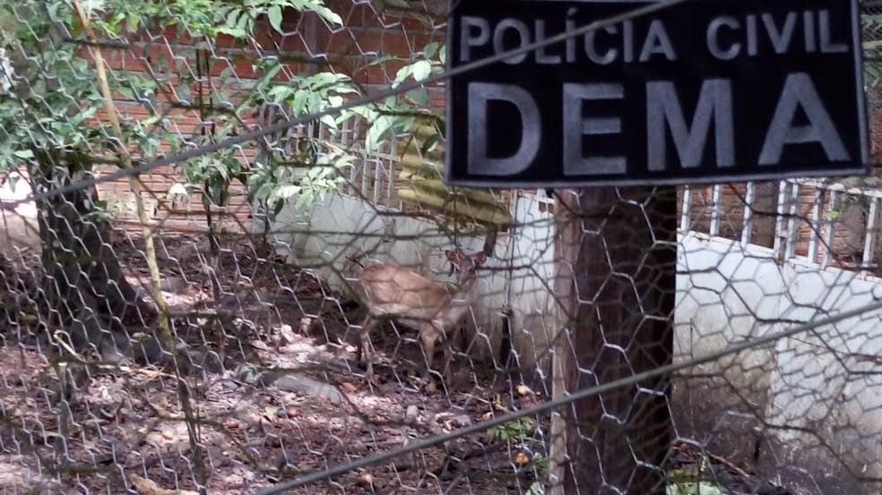 Polícia apreende três pacas, um porco-do-mato, uma cutia e um veado mantidos em cativeiro — Foto: Dema/Divulgação