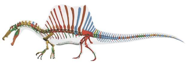 Reconstrução digital do esqueleto do 'Spinosaurus aegyptiacus' (Foto: Tyler Keillor, Lauren Conroy e Erin Fitzgerald, Ibrahim et al./Science/AAAS)