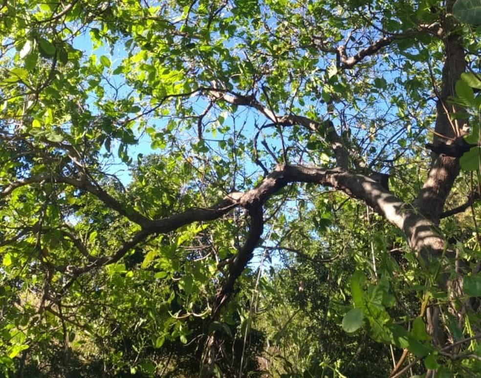 Árvore onde menino foi arremessado após acidente (Foto: Gilmar Drebes/Divulgação)
