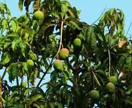 Mangifera indica: saiba como cultivar e cuidar da mangueira