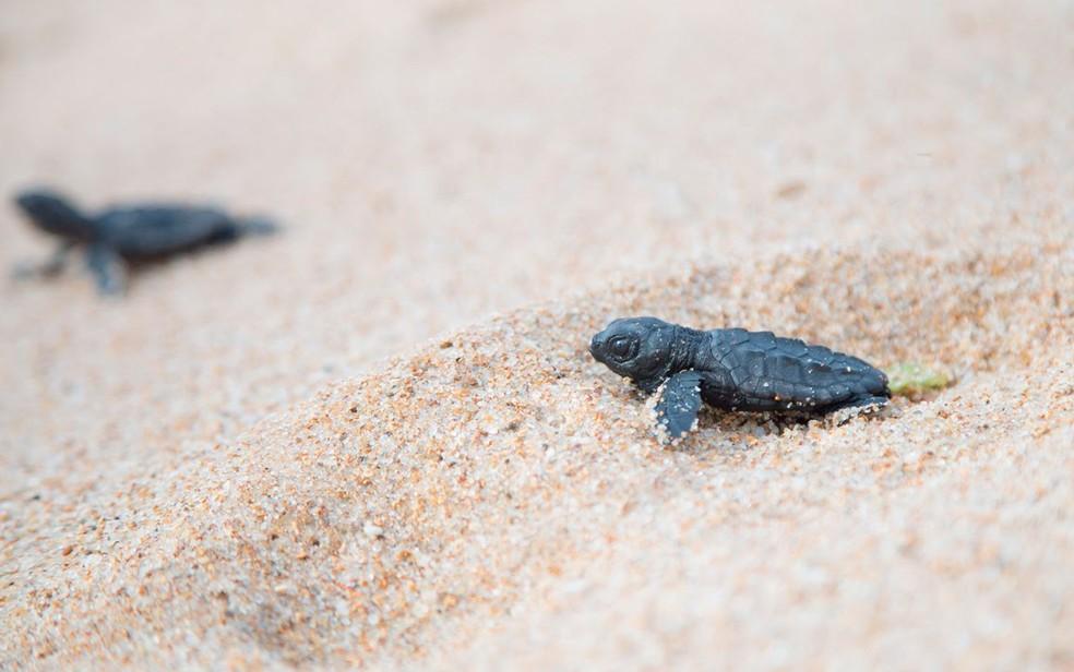 De cada mil tartarugas, apenas uma consegue sobreviver.  — Foto: Adriano Cardoso/Ag. Haack