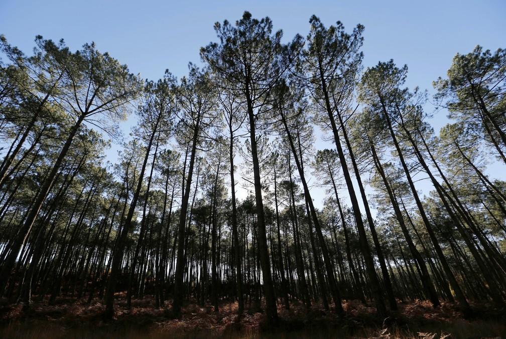 Floresta em Landes, perto de Azur, sudoeste da França — Foto: Regis Duvig/Reuters