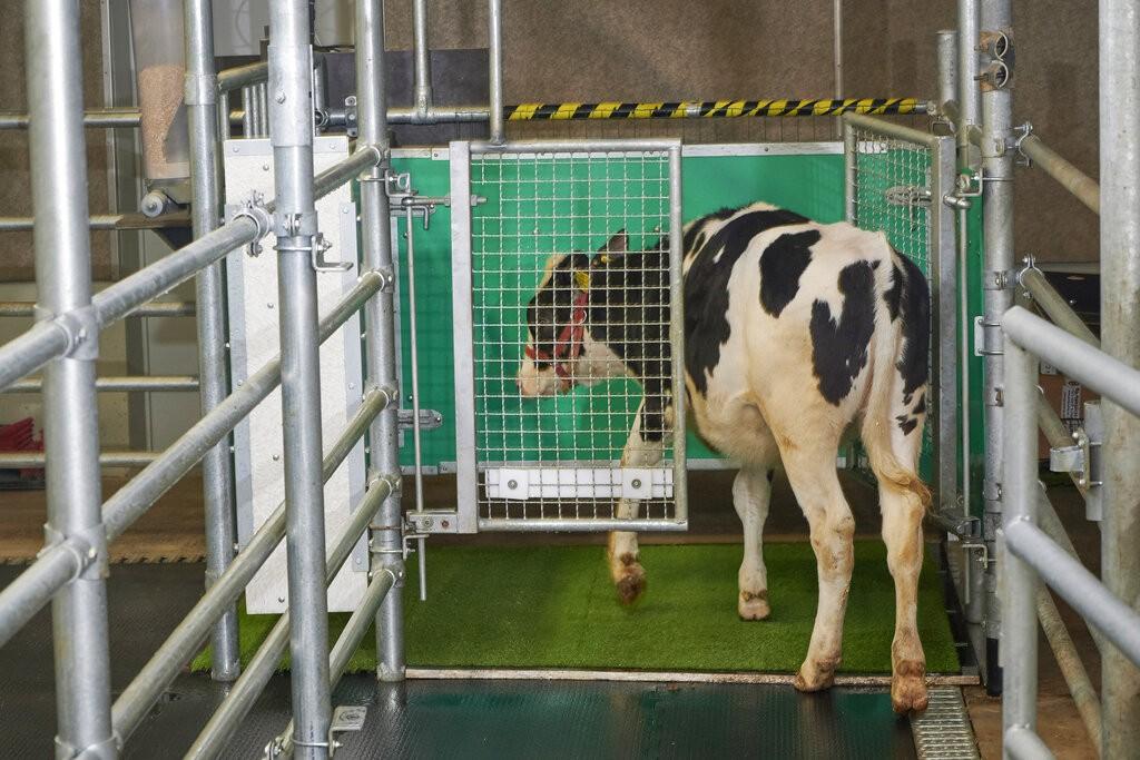 Vacas são treinadas para fazerem xixi no 'tapetinho' em estudo de redução de gases poluentes