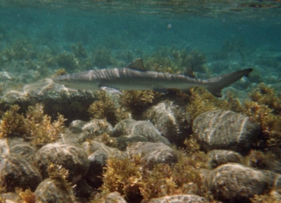 Tubarão-limão fotografado na Praia da Atalaia — Foto: Luciana Wiederin Maschietto/Divulgação