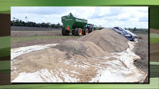 Chuva prejudica colheita de soja em município de MT e produtores apontam prejuízo de R$ 20 milhões