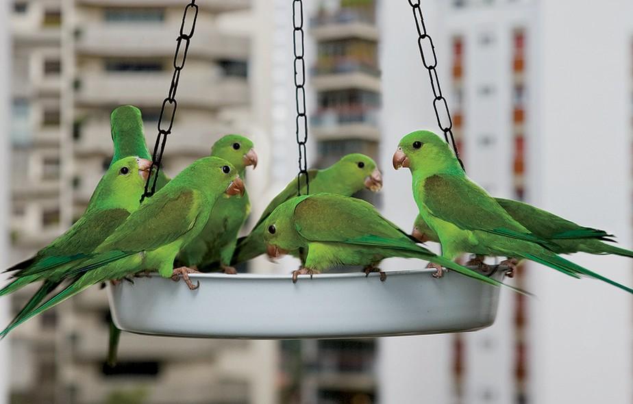 Na varanda da repórter Ananda Apple, um verdadeiro restaurante ao ar livre para os pássaros: num grande prato plástico, pendurado no teto, ela coloca até dez bananas por dia