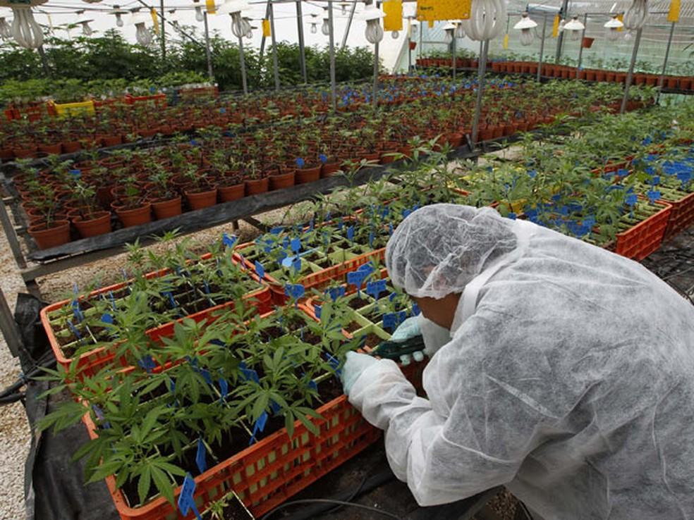 Plantação de maconha medicinal é mantida sob sigilo na região da Galiléia, em Israel. — Foto: Baz Ratner/Reuters