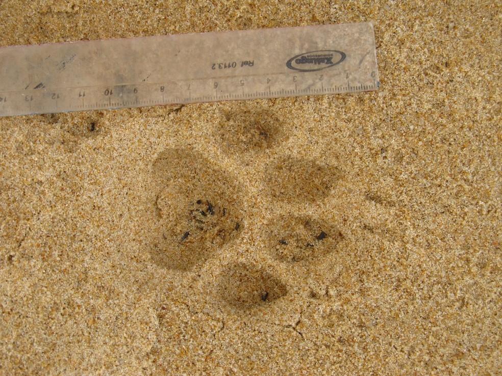 Pegada do animal foi encontrada no parque, e equipe instalou câmeras noturnas para tentar flagrá-lo  (Foto: Divulgação/Sema)