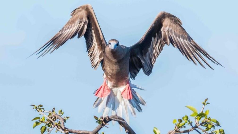 A equipe também viu atobás-de-patas-vermelhas — Foto: Edward Marshall via BBC