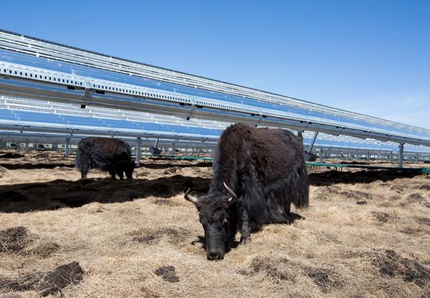 Em região da China, painéis solares são construídos suspensos, de forma que não prejudiquem o crescimento de grama que alimenta os iaques (Foto: Divulgação/Apple)