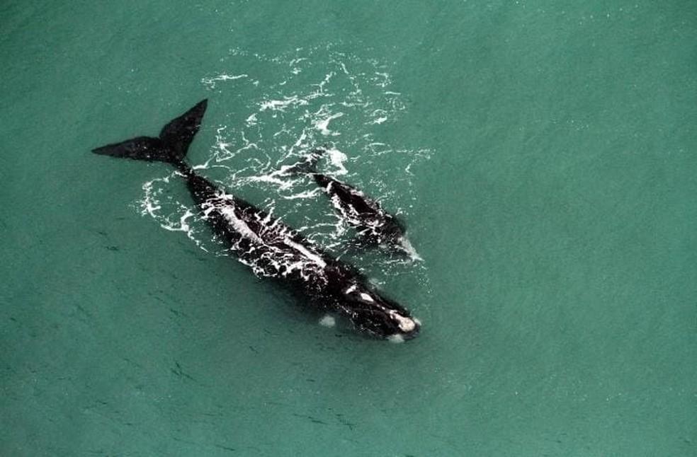 Baleias adultas foram encontradas com filhotes no litoral catarinense e gaúcho — Foto: ProFranca/Divulgação