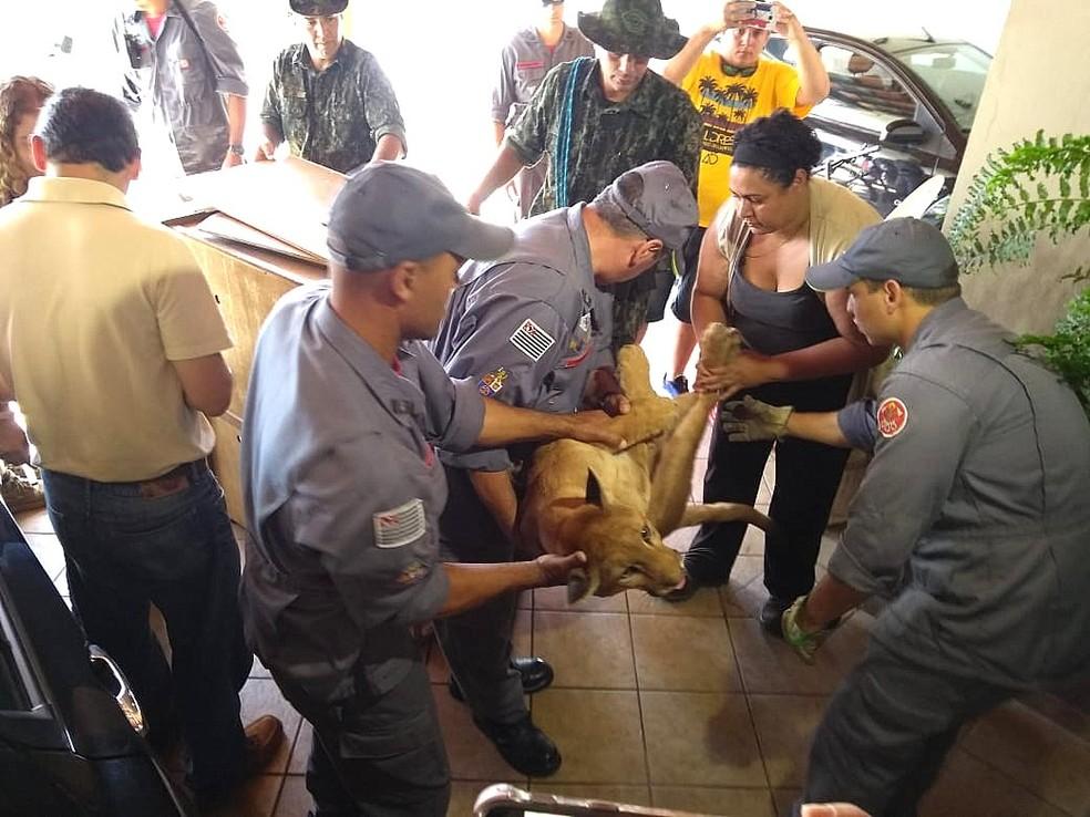 Bombeiros capturam a onça-parda em São Carlos — Foto: Claudinei Júnior/G1