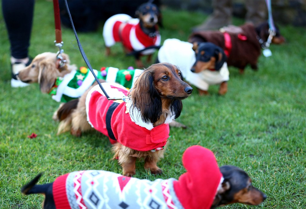 No Hyde Park, em Londres, uma 'caminhada festiva de cães salsicha' reúne dezenas de cachorros da raça Dachshund fantasiados com temática natalina — Foto: Hollie Adams/PA Wire via Reuters