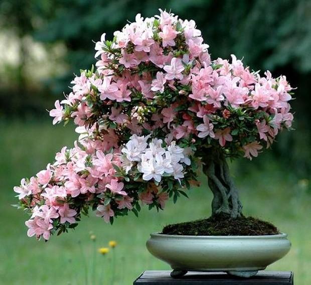 Azaleia plantada através da técnica milenar Bonsai (Foto: Pinterest/Reprodução)
