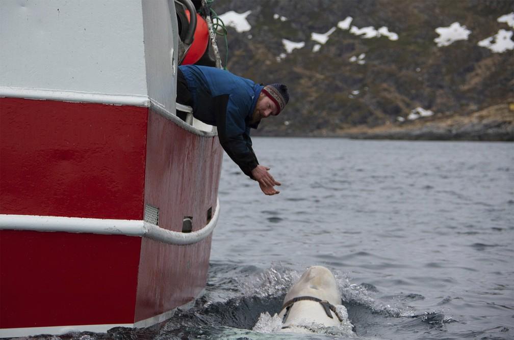 "Pescadores se aproximam de beluga para tentar retirar ""coleira"" — Foto: Joergen Ree Wiig/Norwegian Direcorate of Fisheries Sea Surveillance Unit via AP"