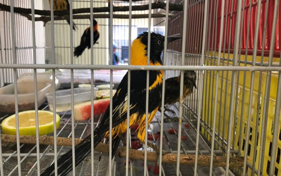 Pássaros apreendidos bastante machucados — Foto: Veruska Donato/TV Globo