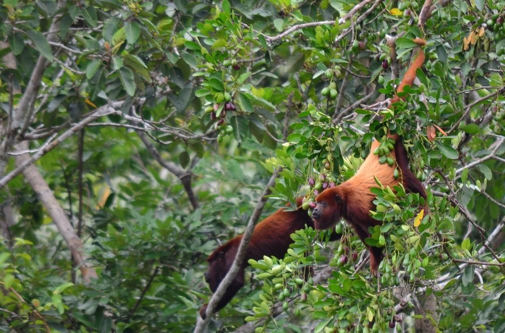 Preguiças e macacos guariba (foto) estão entre alimentos preferidos na floresta amazônica — Foto: Anamélia de Souza Jesus
