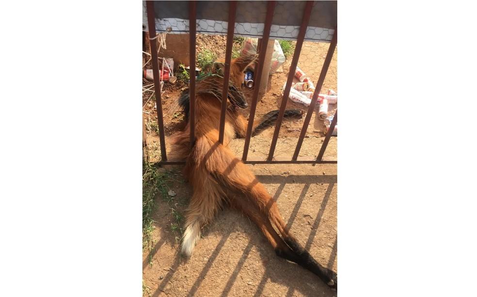 Lobo-guará fica preso em portão de residência em Ceilândia, no Distrito Federal  — Foto: Divulgação/PM Ambiental