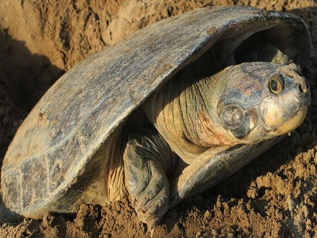 Apenas cinco pares de tartaruga da Amazônia foram encontrados em Oiapoque  (Fot Rubens Portal/Ibama)