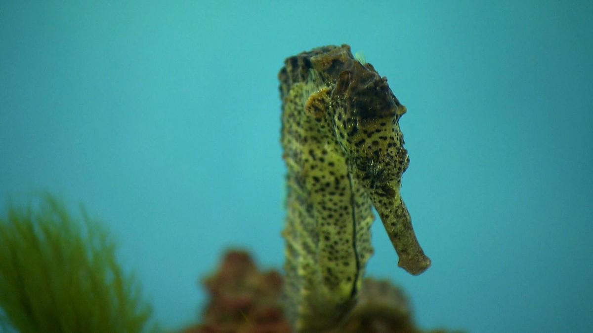 Cavalo-marinho vive em áreas de mangue e está ameaçado de extinção