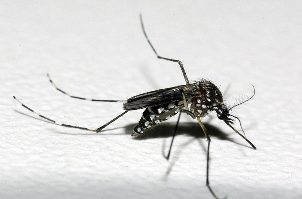 Caso se adapte, o mayaro também poderá ser transmitido pelo Aedes aegypti. â?? Foto: Raul Santana/Fundação Oswaldo Cruz/Divulgação