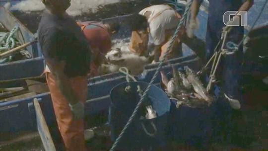 Polícia apreende 18 toneladas de tainha em pesca ilegal em Ilhabela
