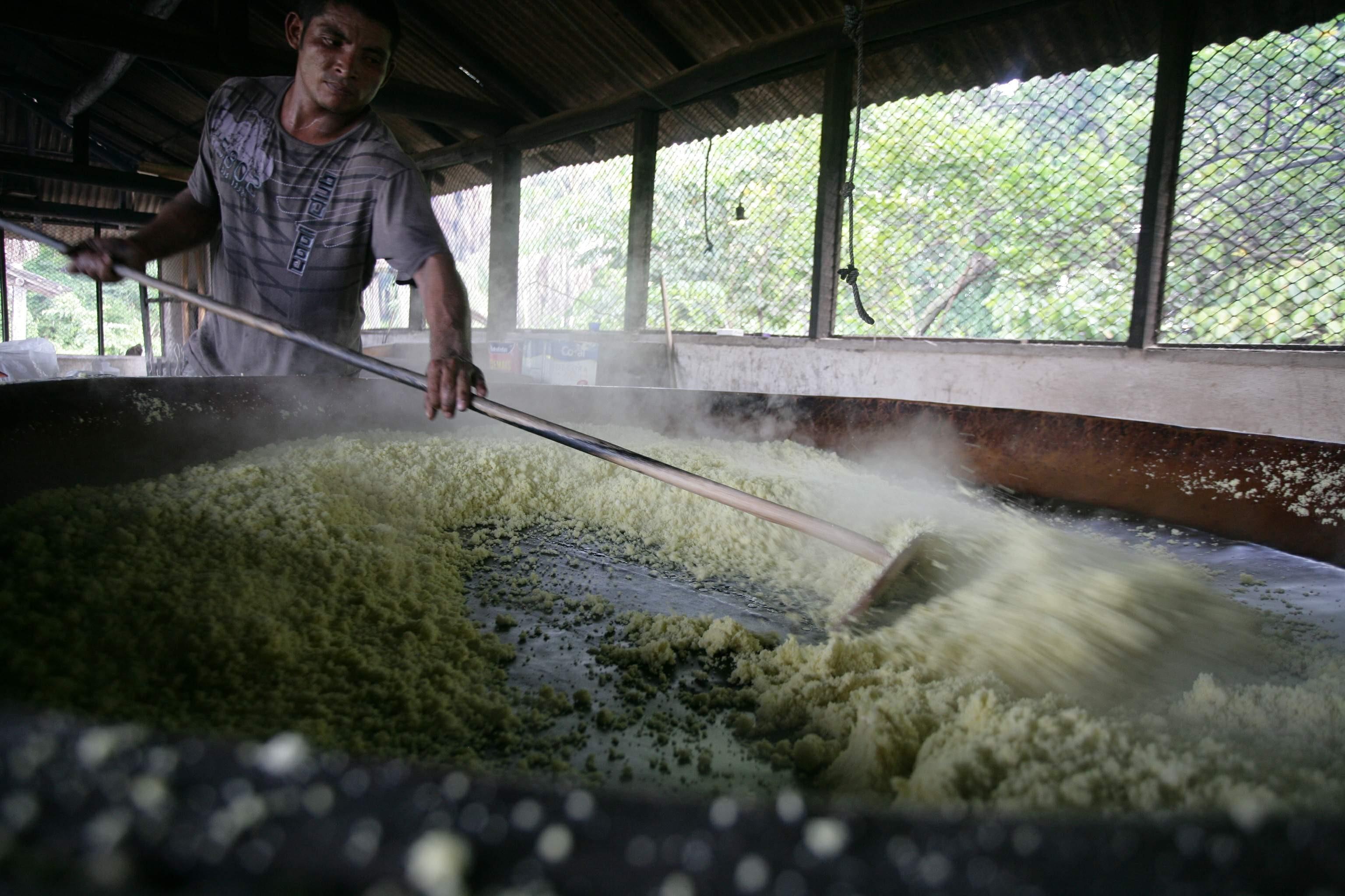 Ciência e tradição se unem na produção de farinha de mandioca no nordeste do Pará