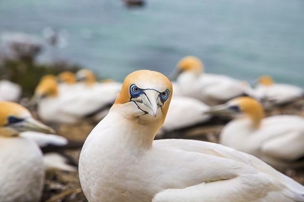 O pássaro local Gannet (Foto: Rogério Voltan)