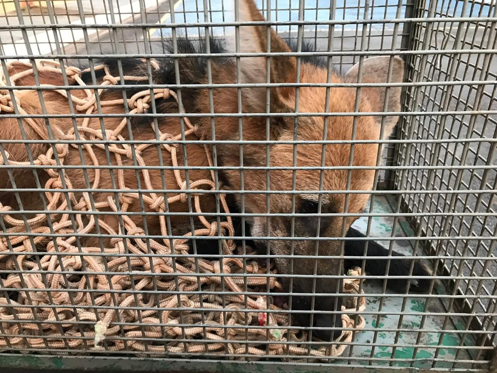 Lobo-guará foi capturado no Centro de Dracena — Foto: Corpo de Bombeiros/Cedida