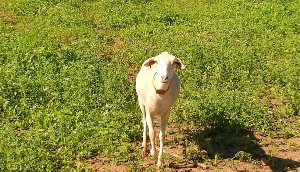 Ovinos da raça Morada Nova da variedade branca correm risco de extinção — Foto: Inter TV Costa Branca