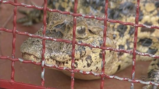 Filhotes de onça-parda e jacaré são capturados em Pereira Barreto