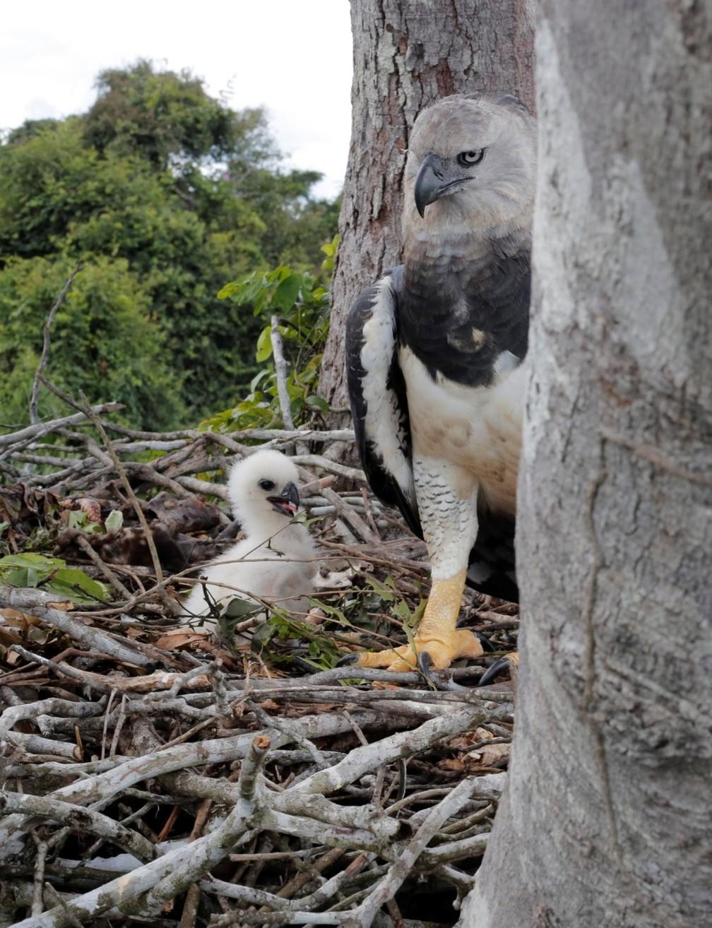 Família de gavião-real.  — Foto: Carlos Tuyama/Arquivo pessoal