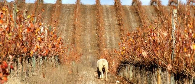 Ovelha pasta nas vinhas no inverno, com o objetivo dereduzir o uso de herbicidas