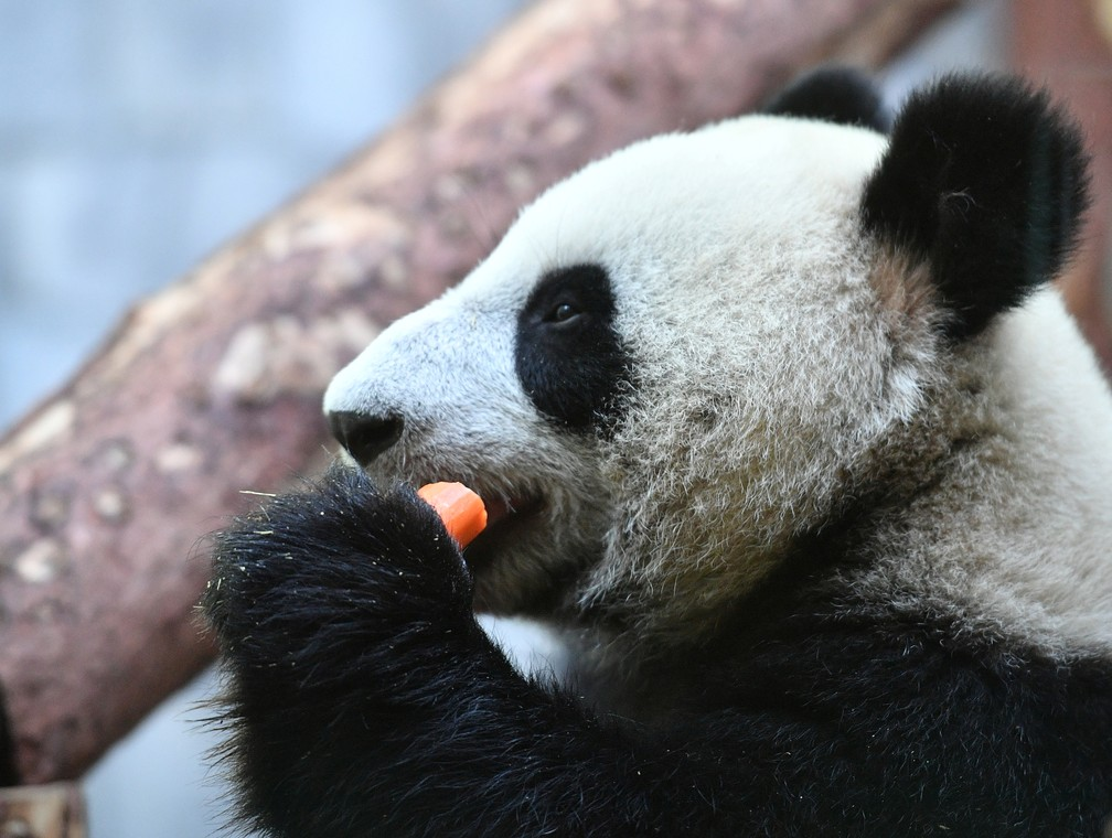 Um dos ursos que a China emprestou à Rússia — Foto: Alexander Vilf/Kremlin/Reuters