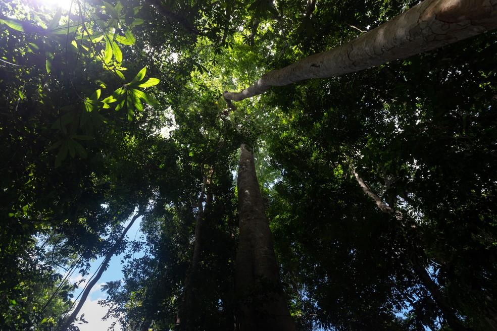 Árvores são vistas durante trilha na Floresta Nacional do Tapajós — Foto: Marcelo Brandt/G1