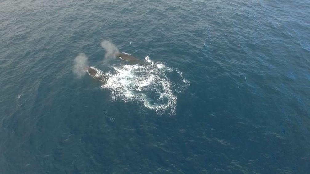 Baleias jubarte registradas no litoral de Vitória — Foto: Reprodução/TV Gazeta