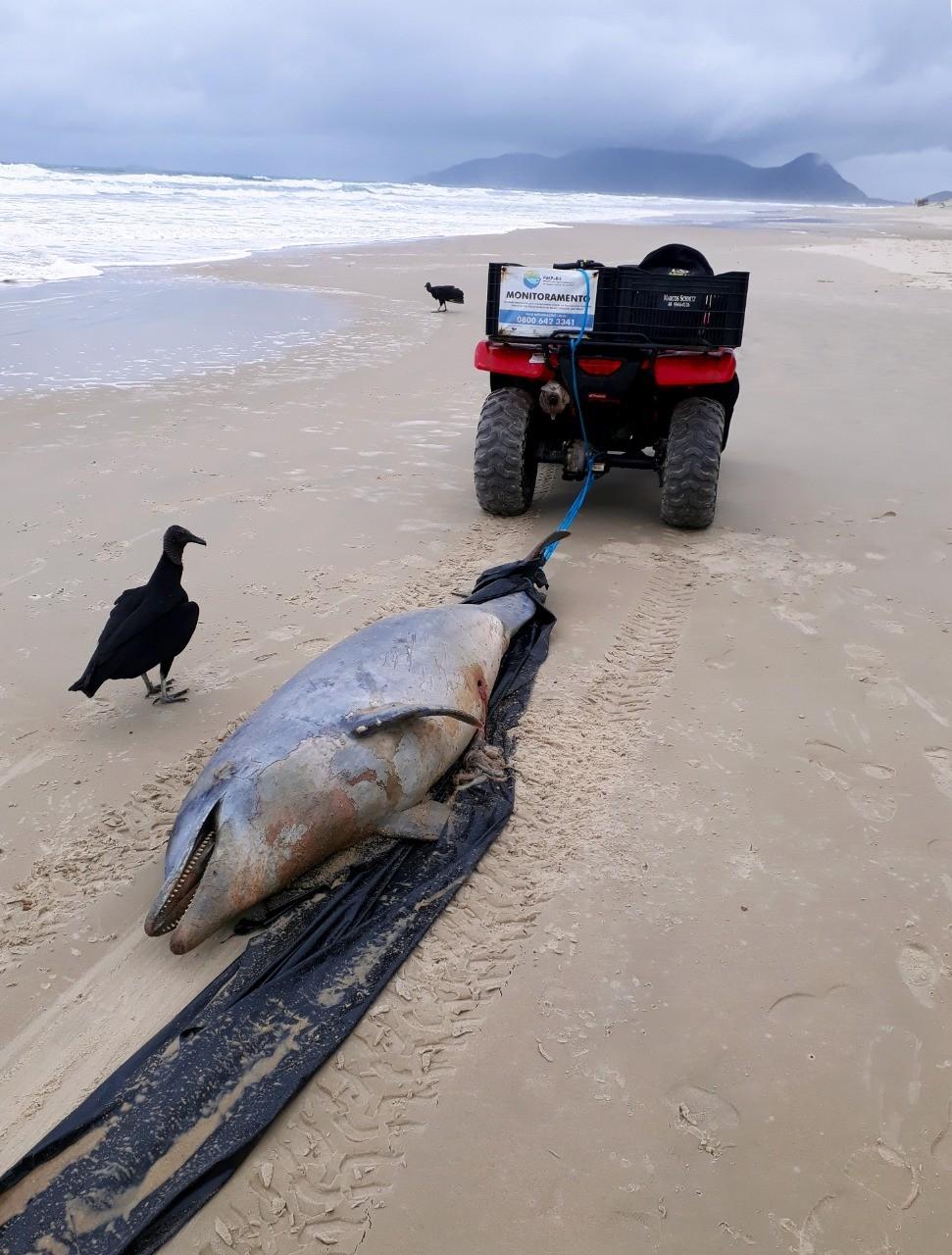 Golfinho é encontrado morto na Praia do Campeche, em Florianópolis - Notícias - Plantão Diário