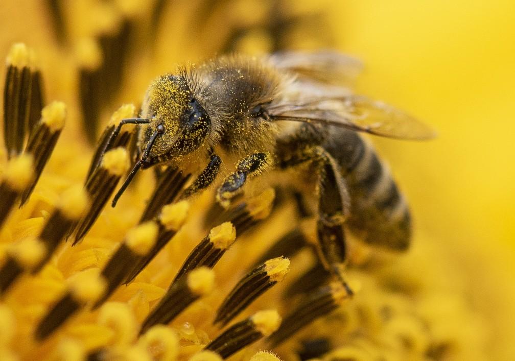 Uma abelha é vista sobre um girassol em Frankfurt, na Alemanha, nesta segunda-feira (27) — Foto: Boris Roessler/dpa via AP