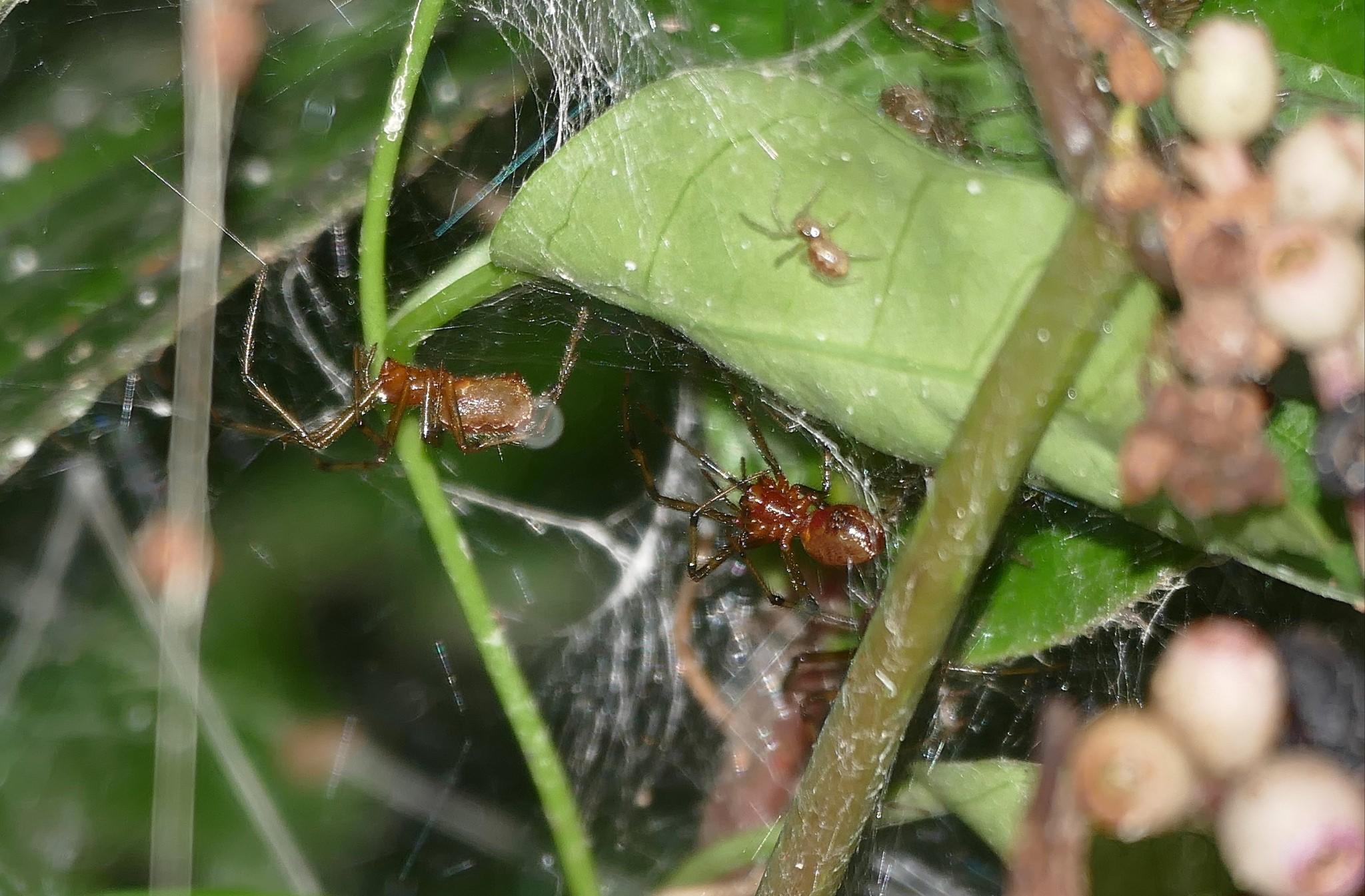 Aranhas social Anelosimus eximius (Foto: Flickr/Bernard Dupont/Creative Commons)