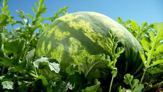 Clima ajuda e safra de melancia deve ser boa em Oscar Bressane