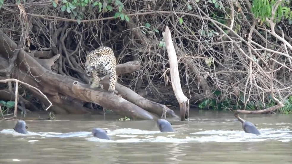 Ariranhas expulsaram onça-pintada que tentava se aproximar delas no Pantanal mato-grossense (Foto: Ailton Lara)
