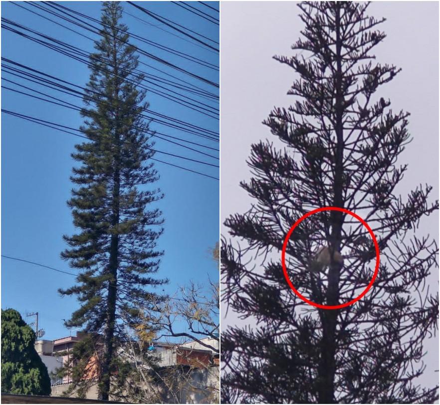 Vizinhança se mobiliza para resgatar gato preso há quase três dias em árvore de 20 metros, em Itaquaquecetuba