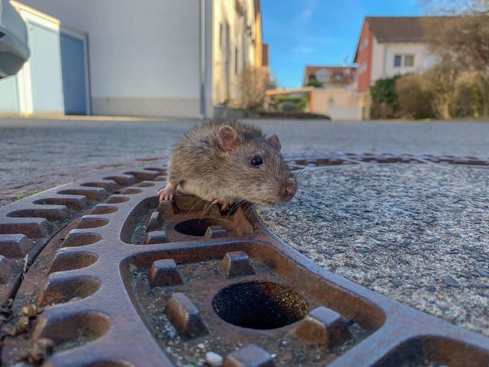 Ratinha fica presa em bueiro de cidade alemã (Foto: Berufstierrettung Rhein Neckar/ Facebook)