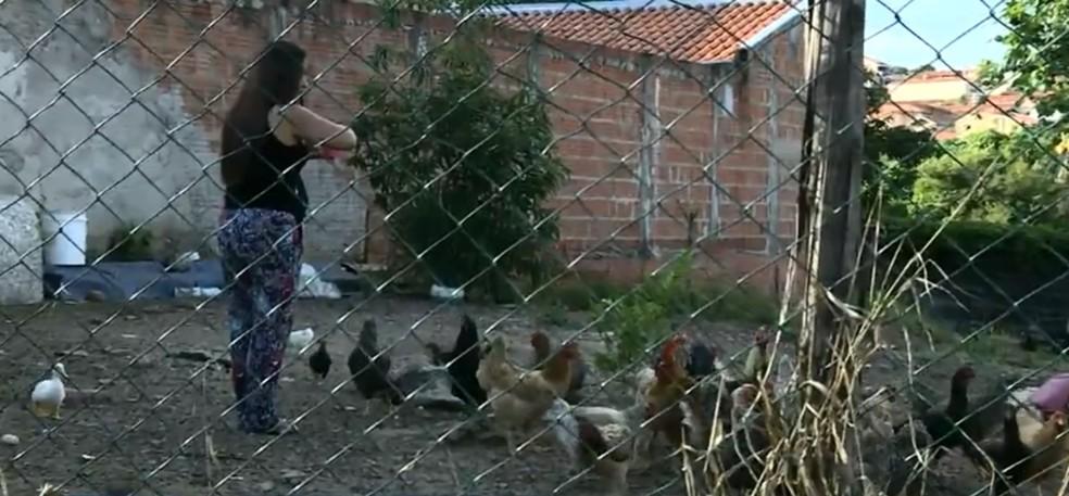 Moradores mantém as galinhas em terreno sem manutenção para evitar escorpiões em Piracicaba — Foto: Reprodução/EPTV