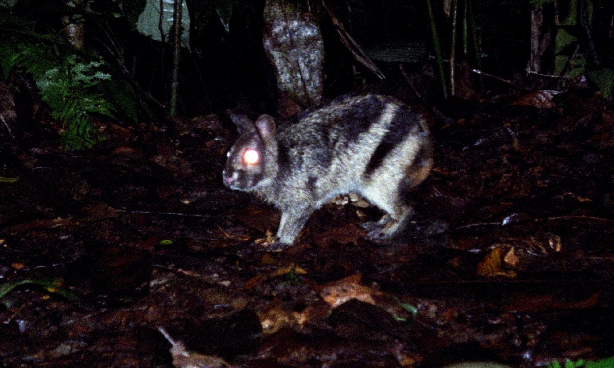 Espécime de coelho mais raro do mundo foi devolvido ao seu habitat natural (Foto: Jeremy Holden/FFI)
