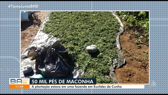 Plantação de maconha com cerca de 10 toneladas é localizada na Bahia; suspeito morreu após ser baleado em confronto