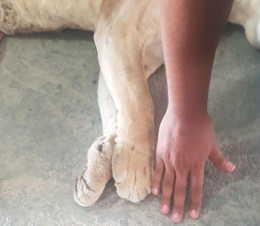 Foto mostra pata do filhote da onça parda encontrada baleada ao lado da mão de um homem — Foto: Secretaria do Meio Ambiente de Jacobina/ Divulgação