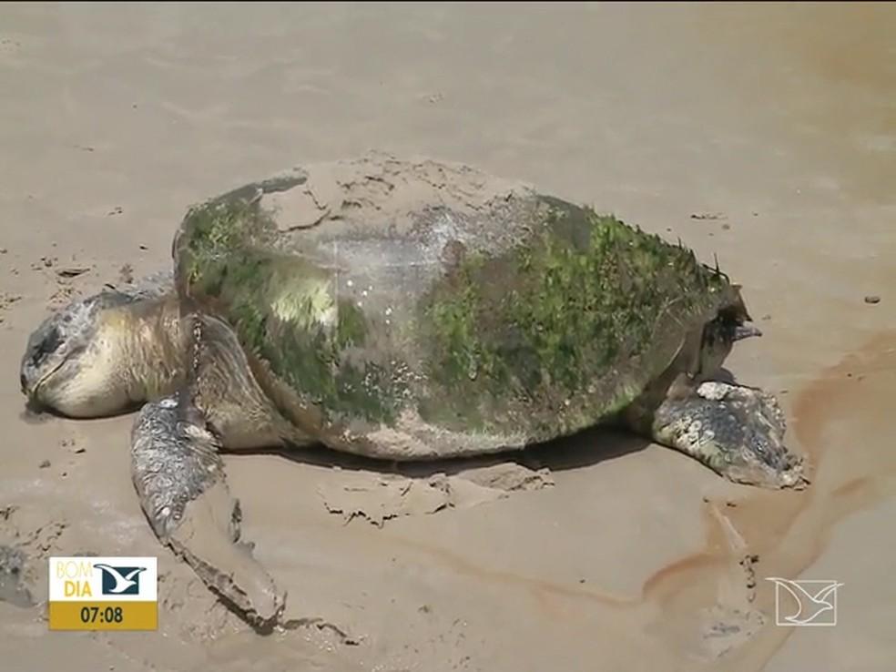Tartaruga é encontrada morta em praia em São Luís — Foto: Reprodução/TV Mirante
